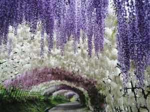 Висячие сады Кавати Фудзи