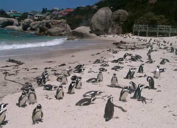 Пингвины на Пляже валунов